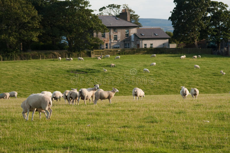 Download Grazeing lambs stock image. Image of bright, agriculture - 26091237