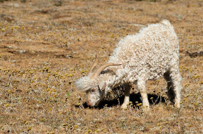 Grazing Angora Goat