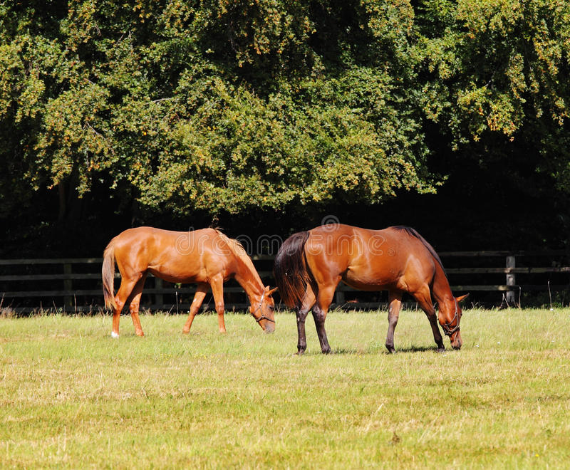 Download Grazing Bay Horses stock photo. Image of tail, meadow - 10897608