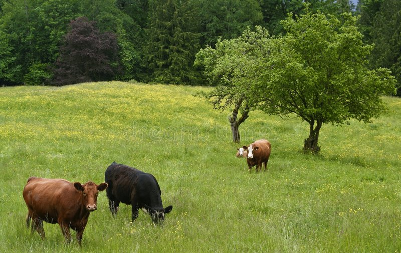 Grazing beef cattle. Beef cattle graze in a treed hillside field stock image