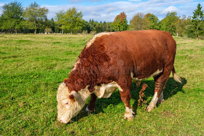 Grazing beef cattle on a meadow. Grazing big beef bull cattle on a meadow royalty free stock photos