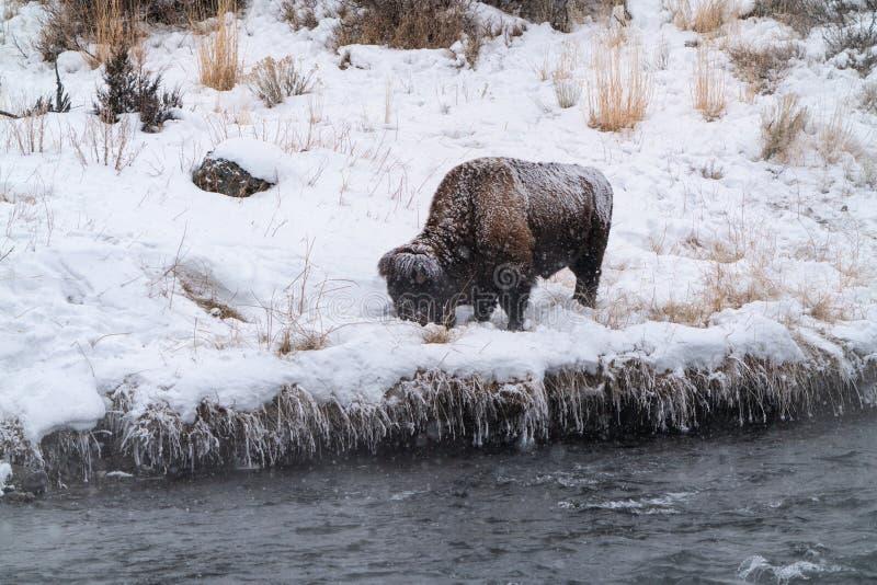 Grazing Bison stock foto