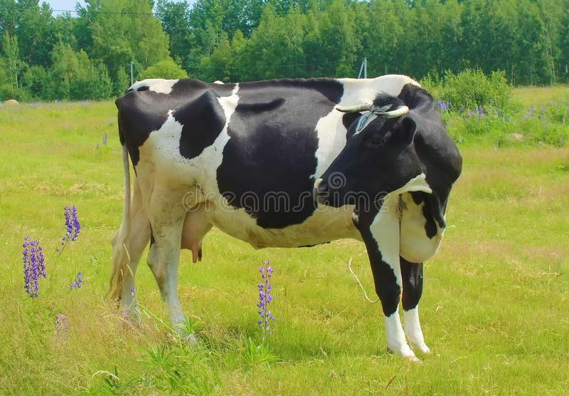 Grazing cow in a meadow. royalty free stock photos