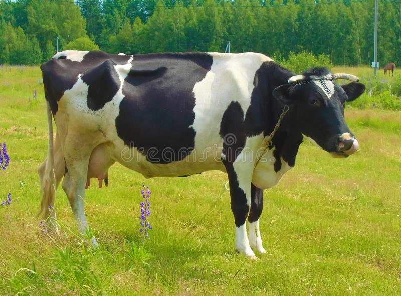 Grazing cow in a meadow. stock photos