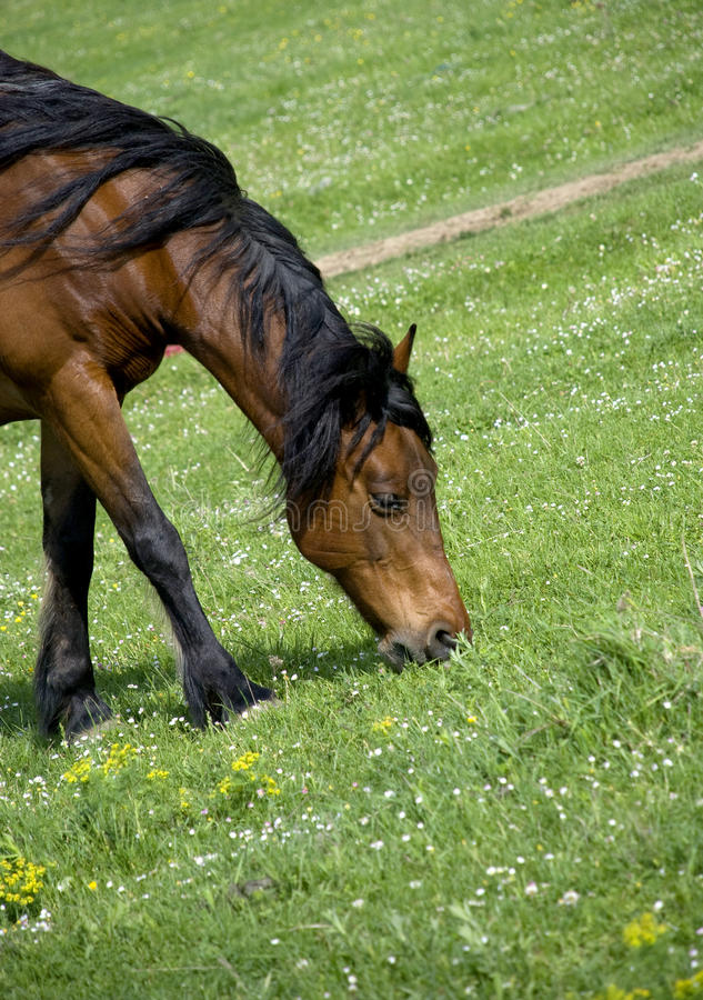 Grazing brown horse. Beautiful horse grazing green grass on the bottom of a hill stock image