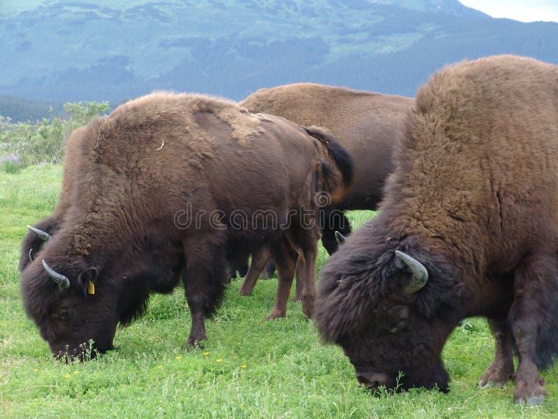 Download Grazing buffalo herd stock image. Image of closeup, alaska - 12461753