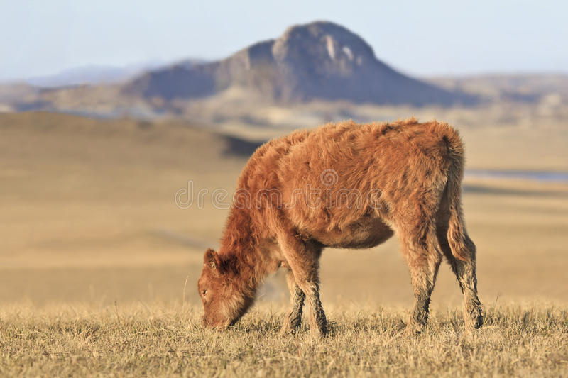 Grazing calf in a prairie, Inner Mongolia, Hebei, Mulan Weichang, China royalty free stock images