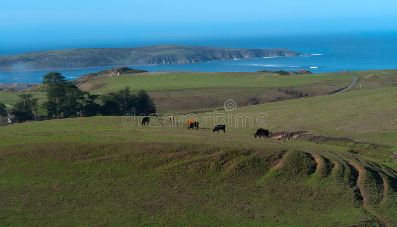Grazing Cattle On Green Fields Stock Image