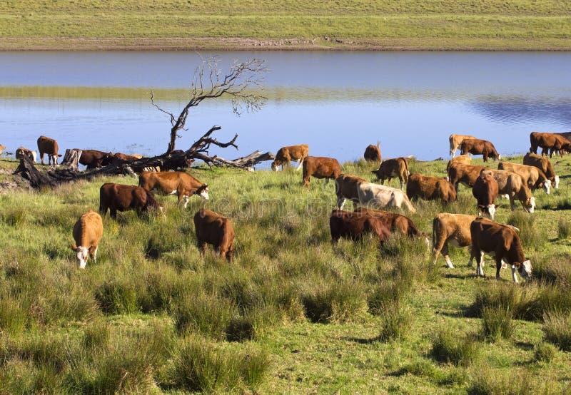 Grazing cattle beside lake stock image