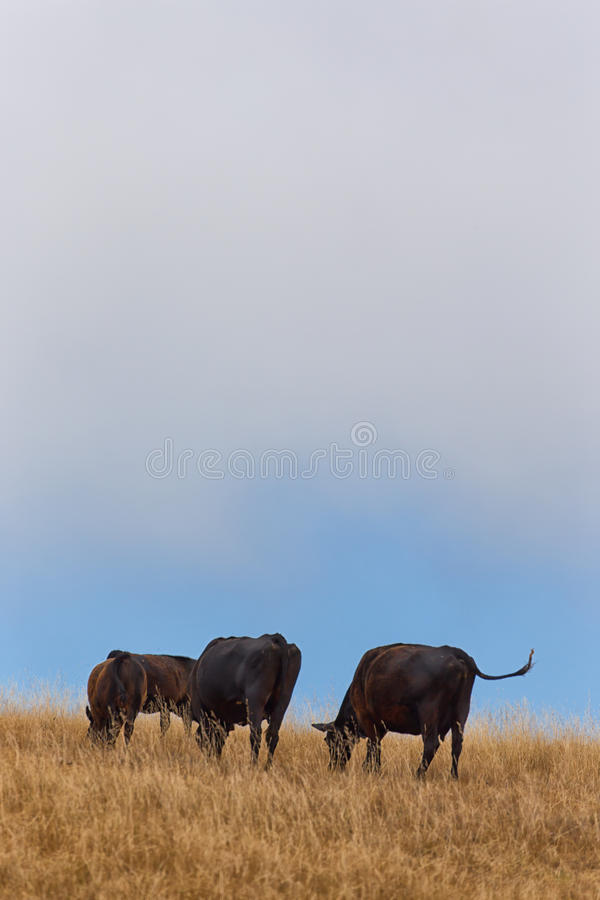 Grazing Cattle in Vertical on Rural Hillside.  royalty free stock image