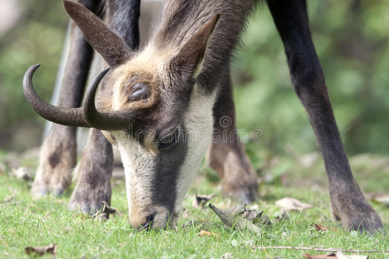 Grazing chamois in the lawn royalty free stock photography