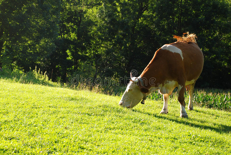 Download Grazing cow stock image. Image of nature, hill, dairy - 20916639