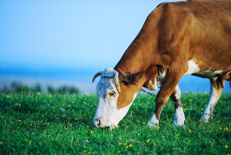 Grazing cow. Agriculture, animal, animals, background, beast, beef, black, blue, bovine, bull, calf, cattle, country, countryside, cows, dairy, day, domestic royalty free stock photos