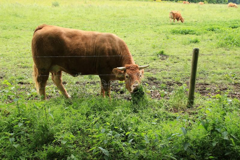 Grazing cow. royalty free stock photos