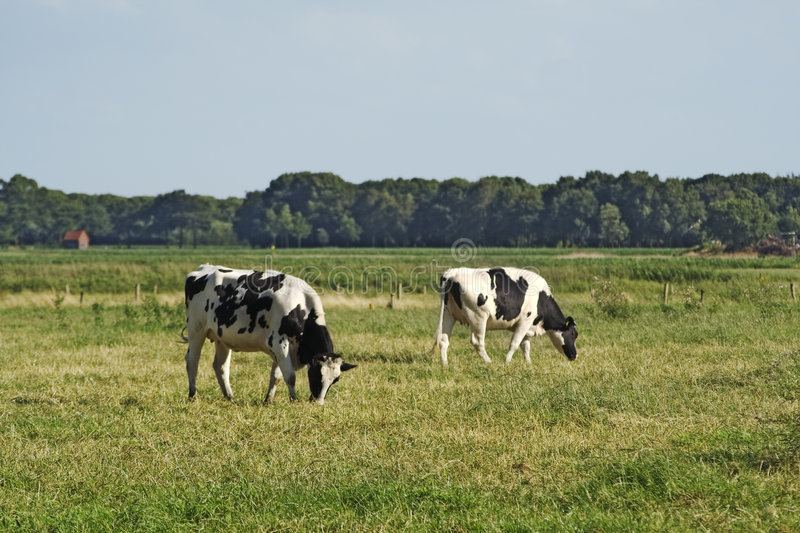Download Grazing cows stock image. Image of cows, farm, animals - 2744815
