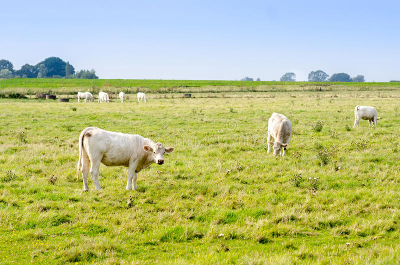 Grazing Cows on a Field royalty free stock photos