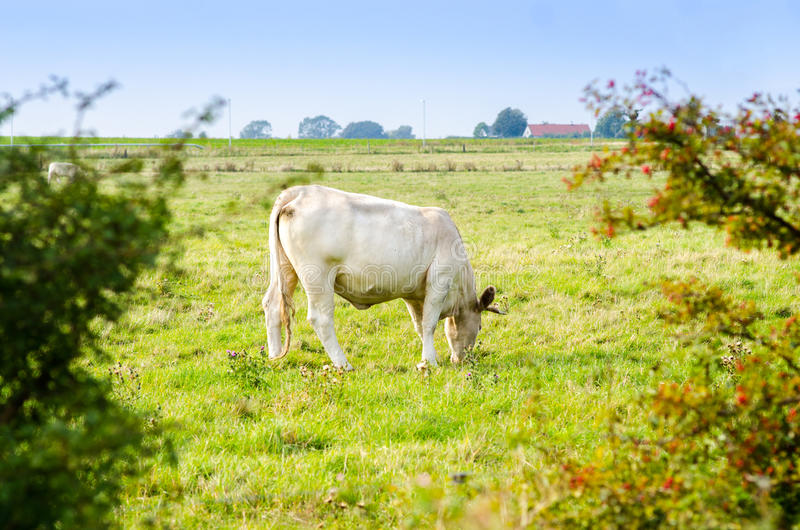 Grazing Cows on a Field stock images