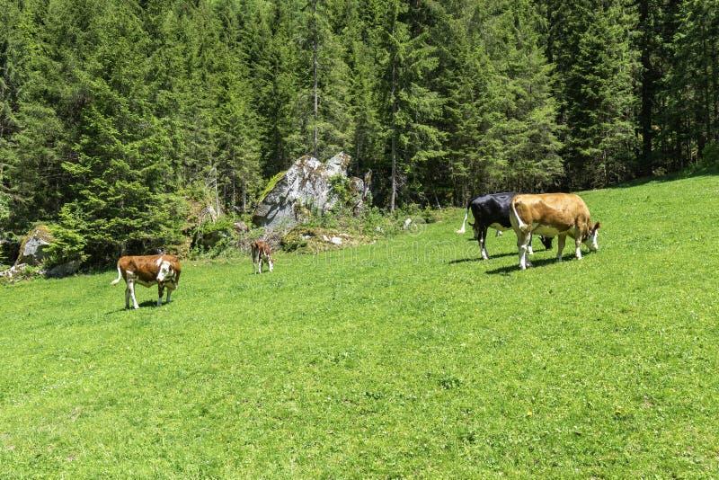 Grazing cows on alpine meadow, Austria, Tyrol Region royalty free stock photo