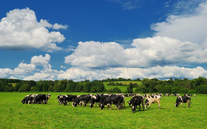 Cow grazing on a green summer meadow in Hungary stock image