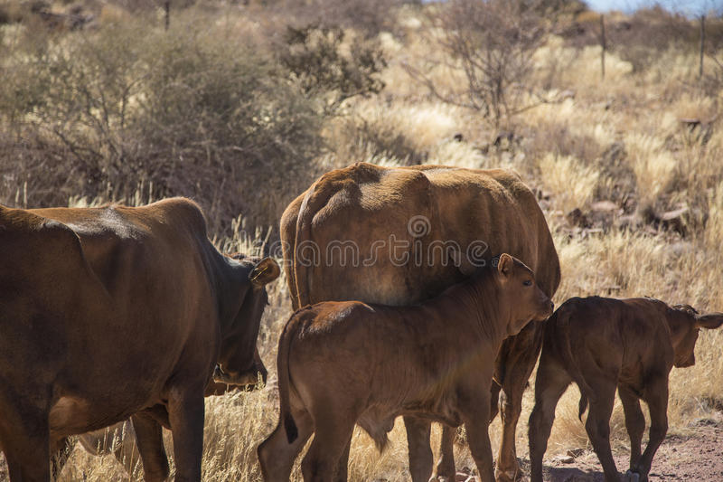 Grazing cows in Namibia stock image