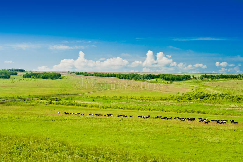 Grazing Cows On Pasture Royalty Free Stock Images