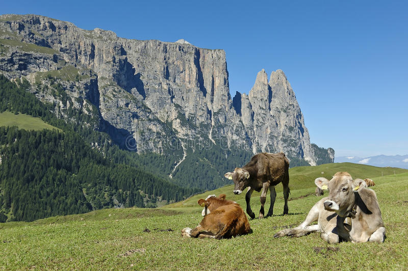Download Grazing cows, Seiser Alm stock photo. Image of grazing - 27621732