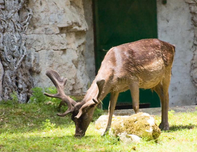 Grazing deer stock image