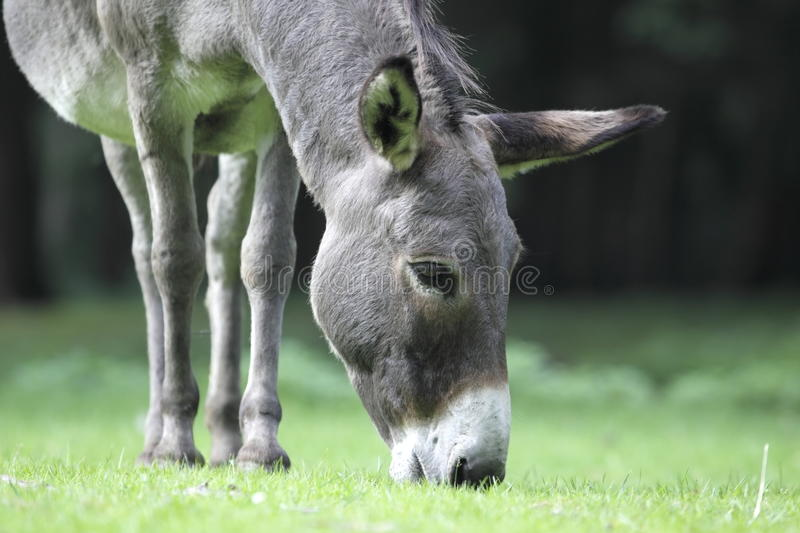 Grazing Donkey In Wildlife Park Stock Photos