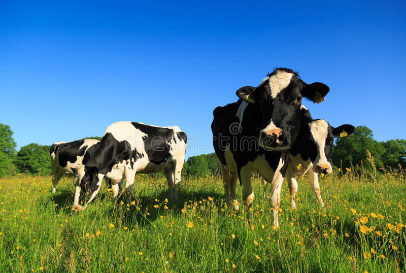 Grazing Dutch cows stock photography