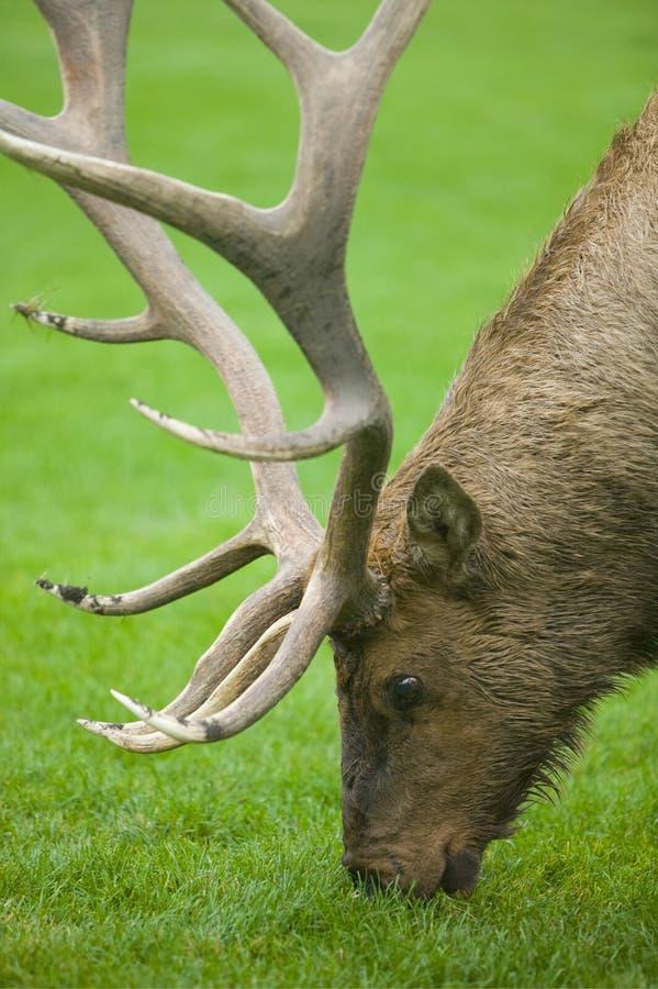Download Grazing Elk stock photo. Image of head, large, feeding - 9238590