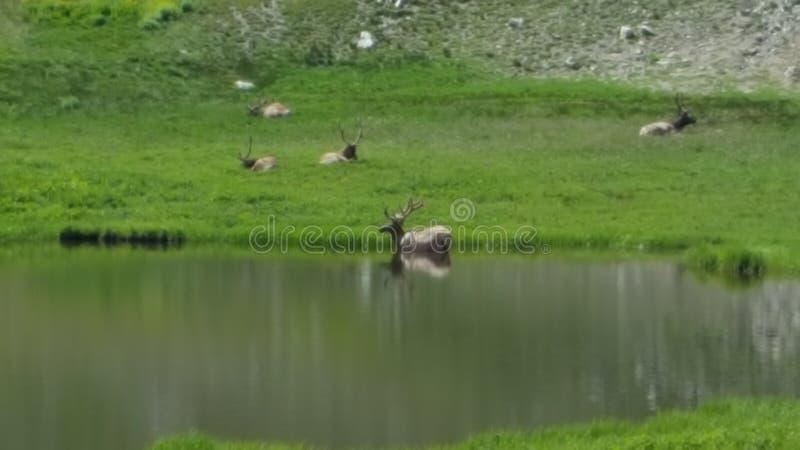 Grazing elk royalty free stock image