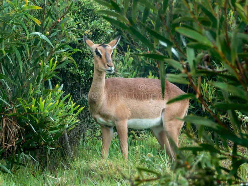 Grazing female Impala in the rain stock image