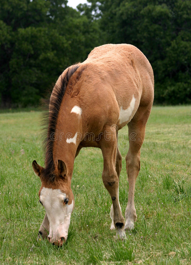 Grazing Foal royalty free stock images