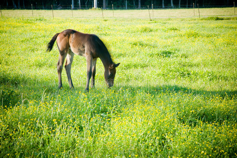 Download Grazing Foal Royalty Free Stock Photo - Image: 27416055
