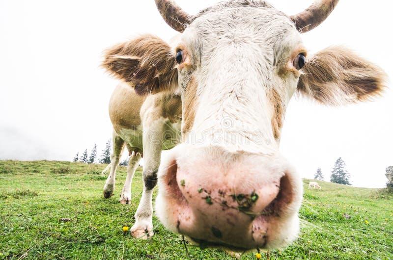 Grazing freerange cow close up, fisheye lens. Shot royalty free stock photo
