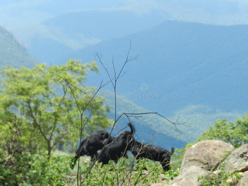 Grazing goats in the middle of dense forest stock photos