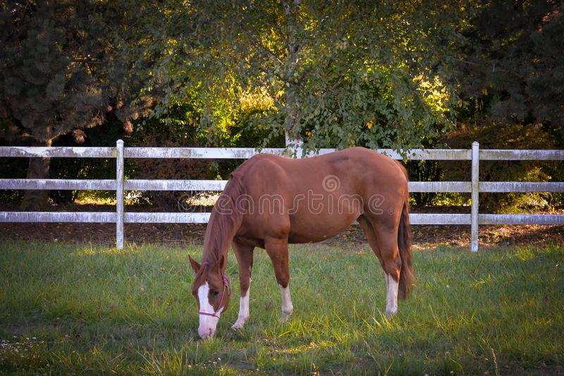 Download Grazing on Grass stock photo. Image of animal, horse - 103088822