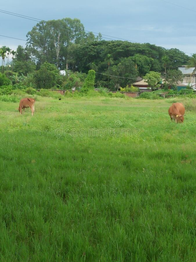 Grazing in a Green field in a colony at Dimapur, Nagaland, India. A big green field in Dimapur town in India royalty free stock image
