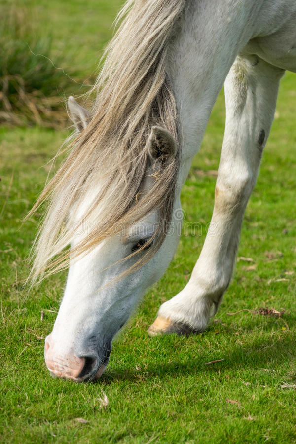 Grazing Grey Welsh Wild Pony royalty free stock images
