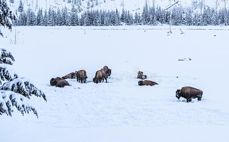 Grazing herd of bison, buffalo, in snowy Yellowstone during winter stock images