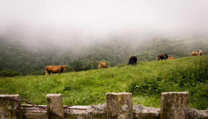 A grazing herd of cows in the foggy morning on a meadow royalty free stock images