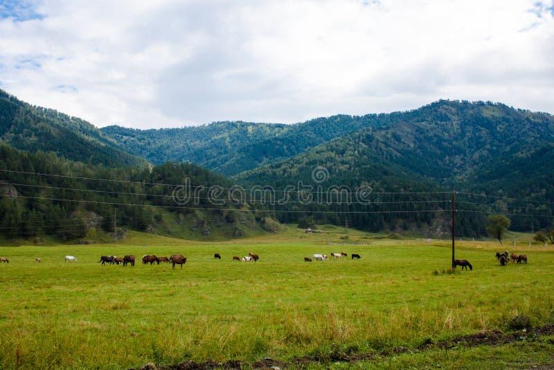 Grazing herd in the vast Altai Mountains stock photos