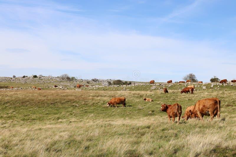 Grazing Hereford cattle, hillside farm in Cumbria. Grazing herd of Hereford cattle on a hillside farm in limestone country near Sunbiggin in Cumbria, England stock photos
