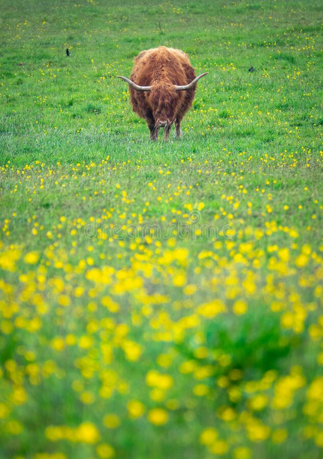 Grazing Highland Cow royalty free stock images
