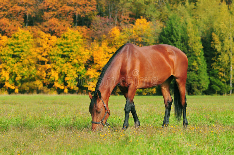 Grazing horse on the autumn meadow royalty free stock image