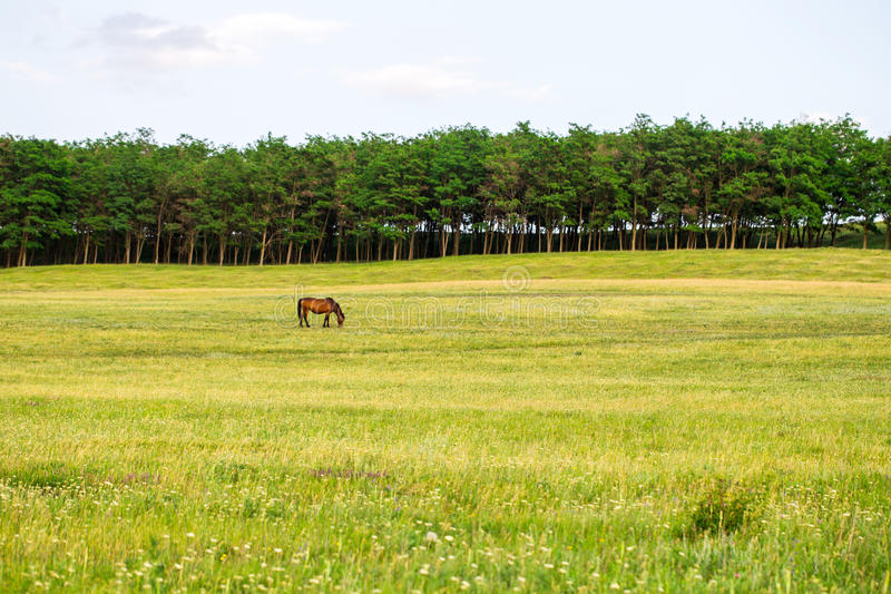 Grazing horse on the field. Beautiful shot of grazing horse on the field with forest on skyline. Photo can be used as a whole background royalty free stock photo