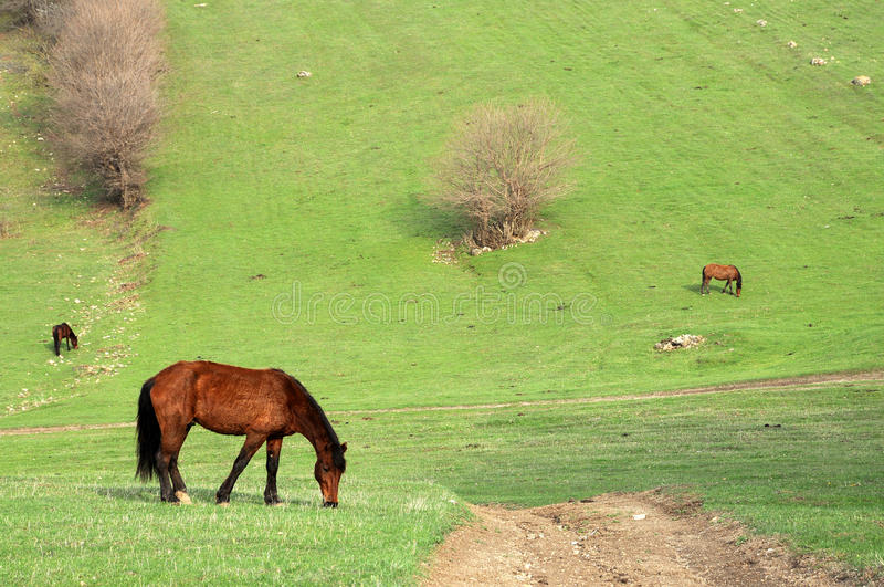 Download Grazing horses stock photo. Image of moving, field, free - 17001328