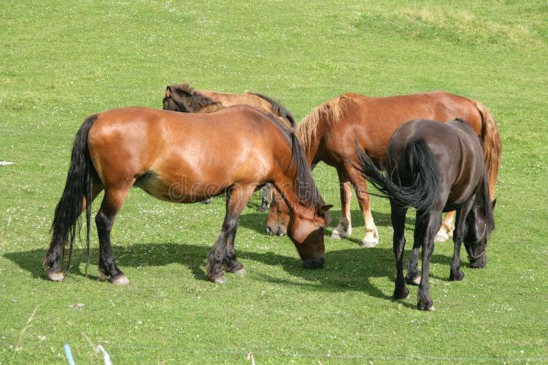 Download Grazing horses stock photo. Image of stock, brown, beautiful - 20548998
