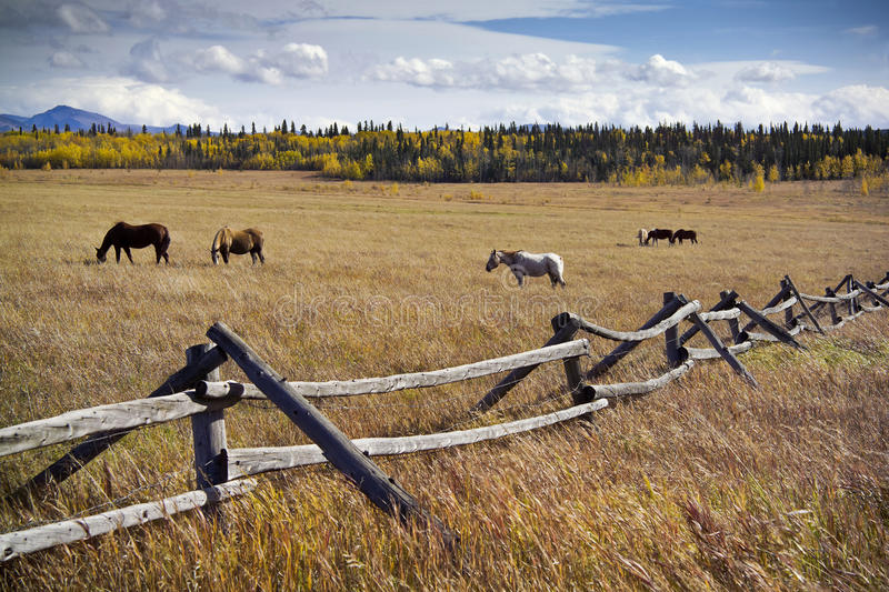 Download Grazing horses stock photo. Image of wooden, grass, mountain - 20981648