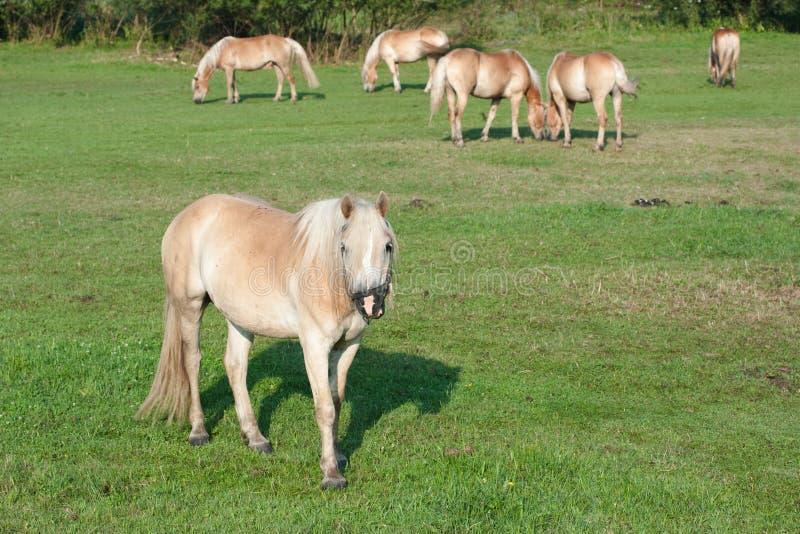 Download Grazing Horses stock photo. Image of animal, farming - 22576008